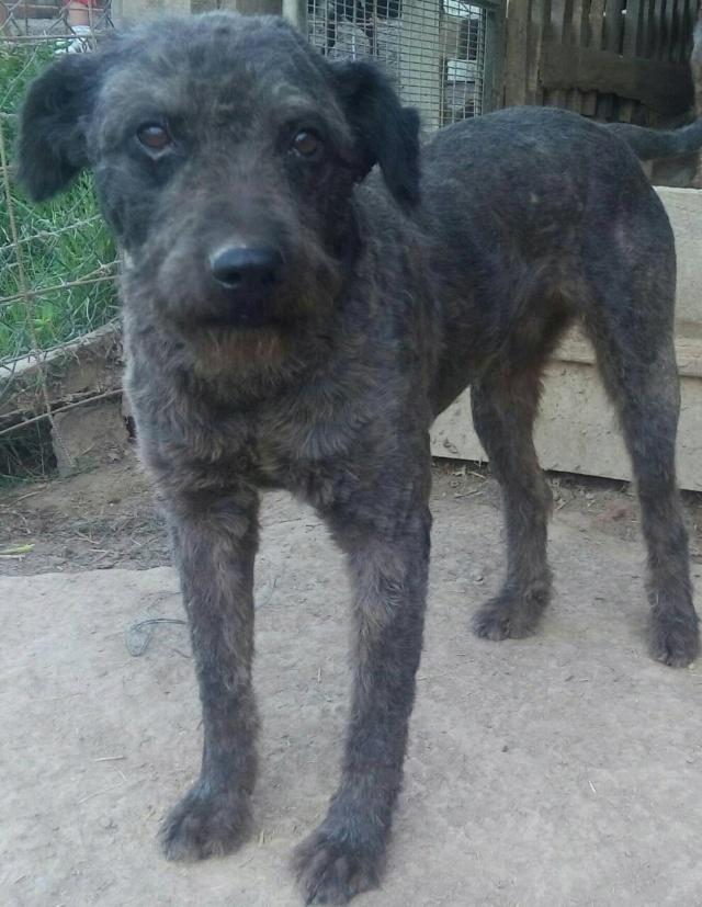 CUPKO croisé chien d'eau - SERBIE 38632510