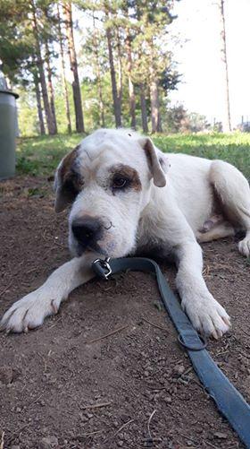MAX (KORSO) magnifique croisé bicolore - SERBIE 39891610