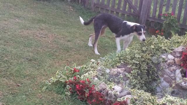 DUNJA une jolie chienne tricolore - SERBIE 40090710