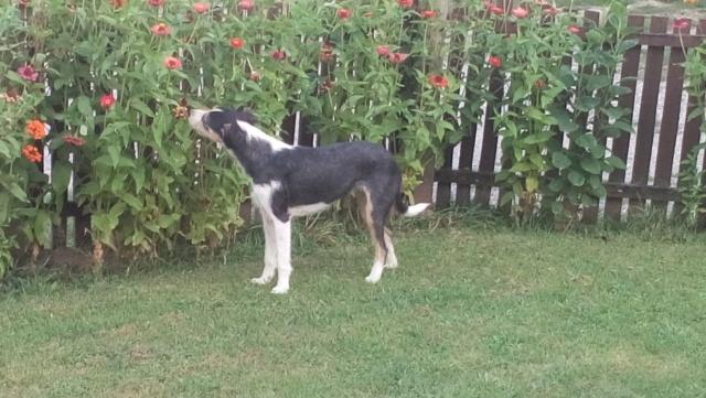 DUNJA une jolie chienne tricolore - SERBIE 40161510