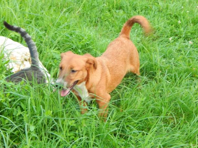 RASTY joyeux petit chien roux en FA dans le dpt 67 - SERBIE 40784910