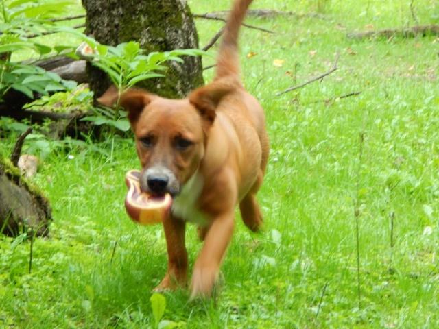 RASTY joyeux petit chien roux en FA dans le dpt 67 - SERBIE 41086310
