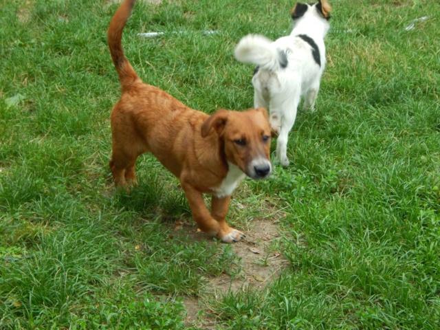 RASTY joyeux petit chien roux en FA dans le dpt 67 - SERBIE 41100511