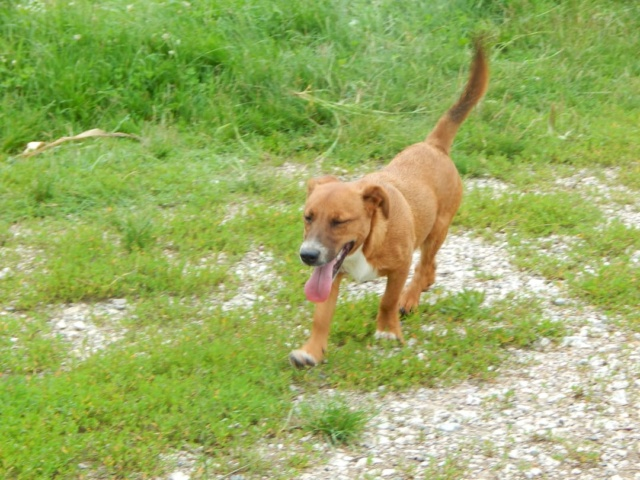 RASTY joyeux petit chien roux en FA dans le dpt 67 - SERBIE 41176010