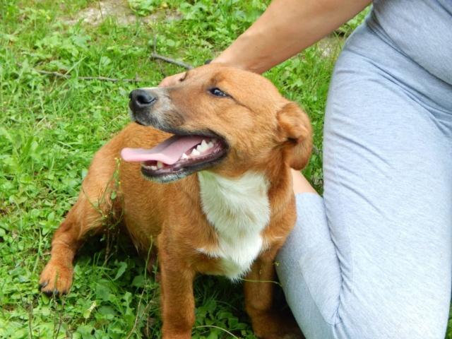 RASTY joyeux petit chien roux en FA dans le dpt 67 - SERBIE 41244210