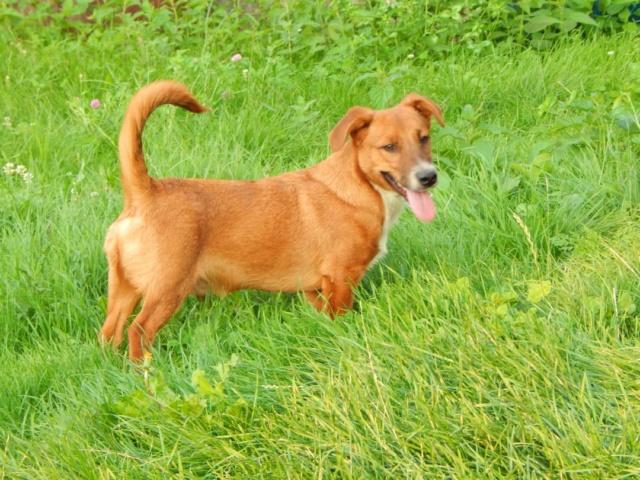 RASTY joyeux petit chien roux en FA dans le dpt 67 - SERBIE 41325610