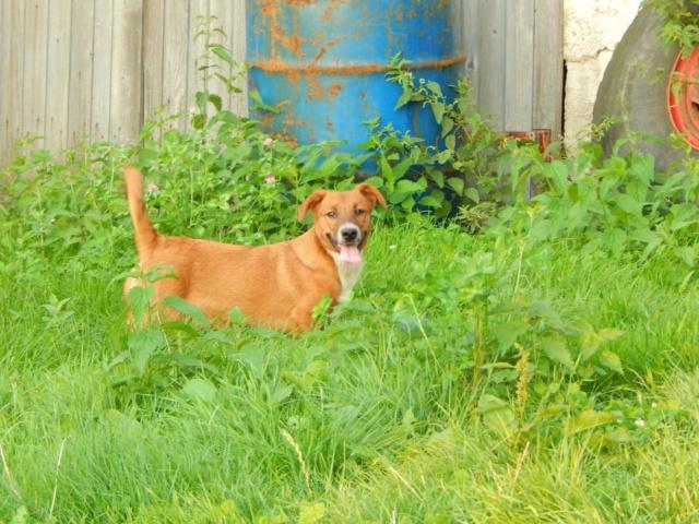 RASTY joyeux petit chien roux en FA dans le dpt 67 - SERBIE 41347710