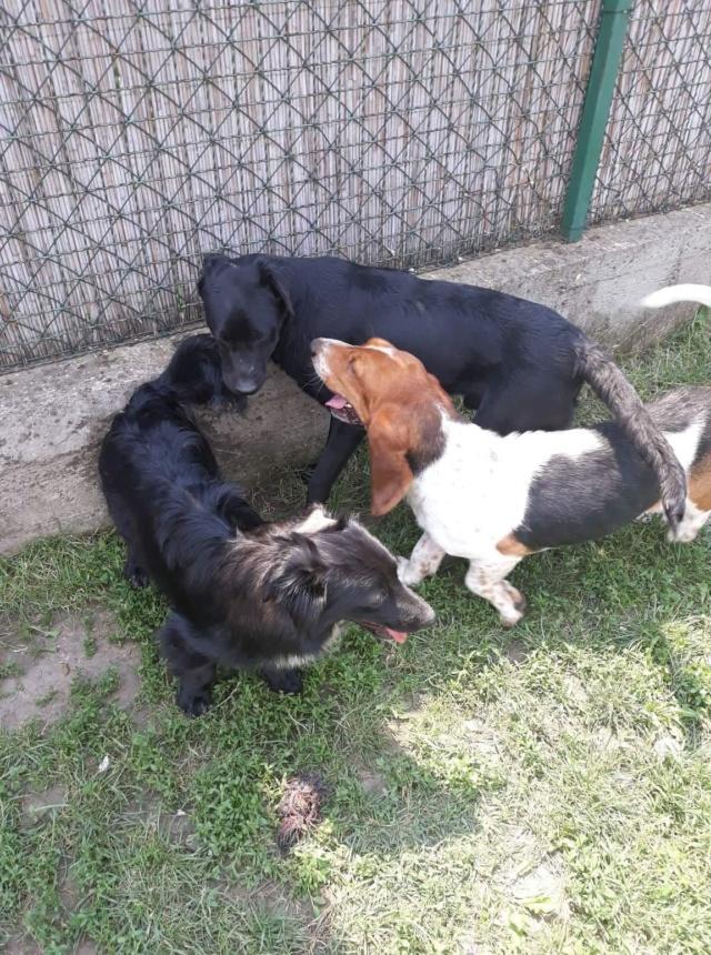 DORA basset hound - SERBIE 41396910