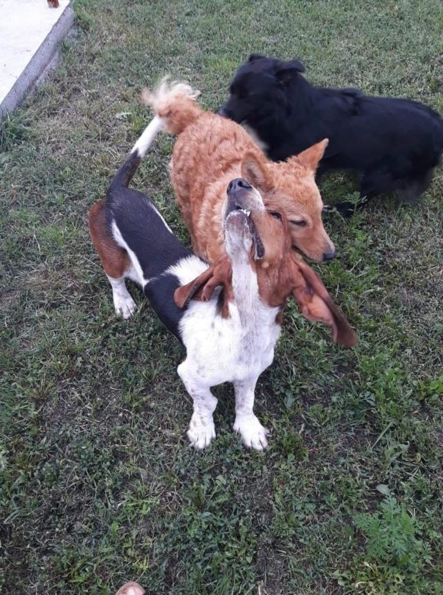 DORA basset hound - SERBIE 41436911