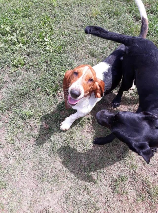 DORA basset hound - SERBIE 41515010