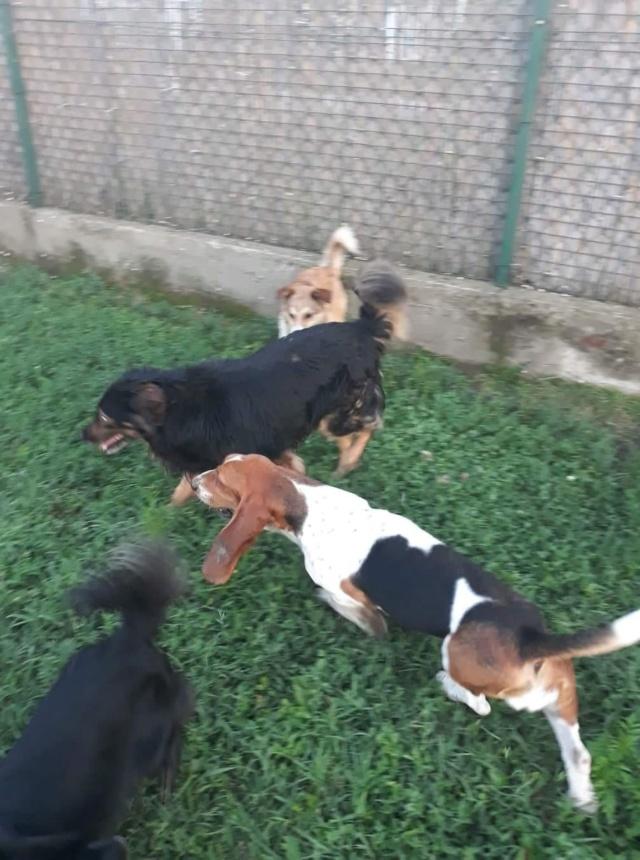 DORA basset hound - SERBIE 41566210