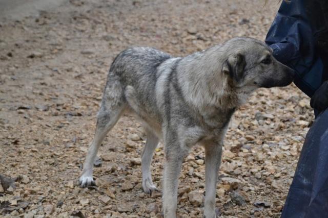 STARK superbe croisé chien loup tchécoslovaque - SERBIE 45004810