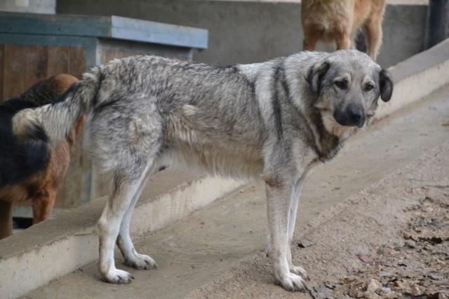 STARK superbe croisé chien loup tchécoslovaque - SERBIE 45075510