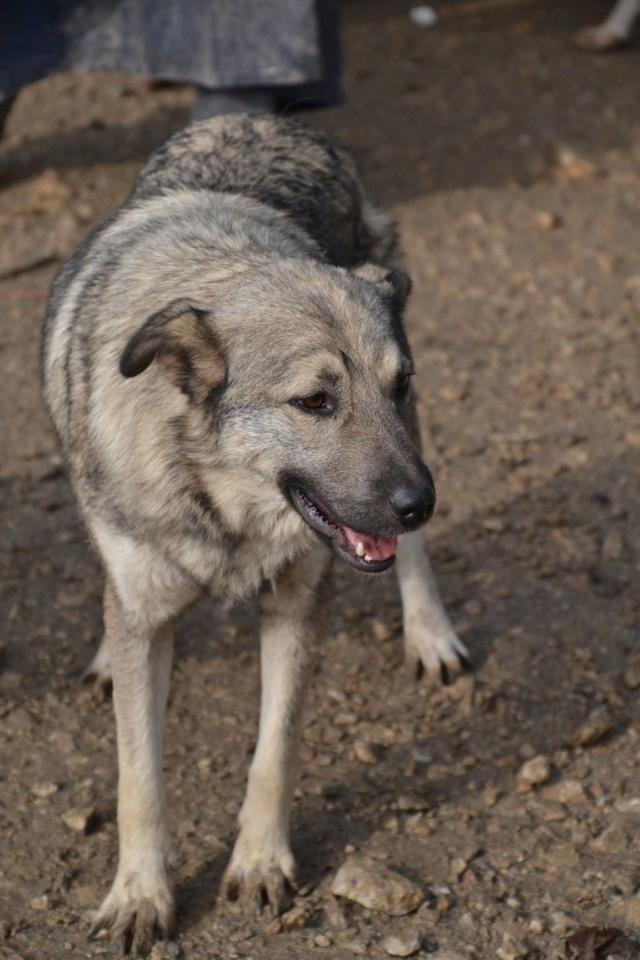STARK superbe croisé chien loup tchécoslovaque - SERBIE 45091010