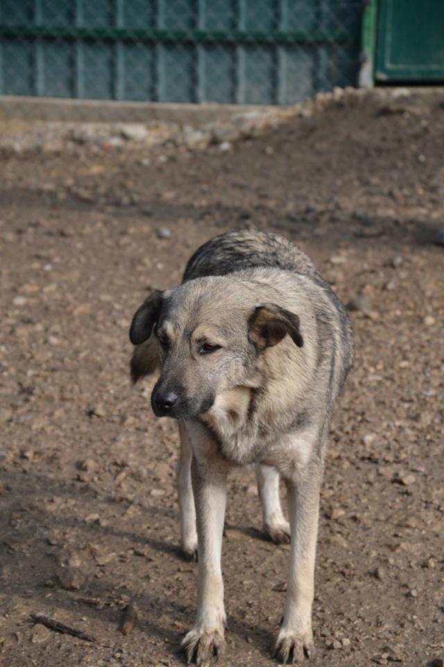 STARK superbe croisé chien loup tchécoslovaque - SERBIE 45143710
