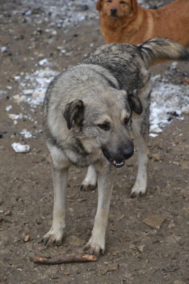 STARK superbe croisé chien loup tchécoslovaque - SERBIE 45167911