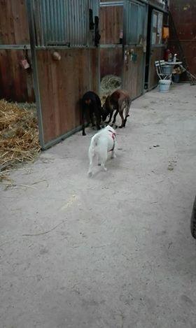 BUBI croisée fox en FA ds le 67 - SERBIE 46473810