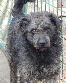 CUPKO croisé chien d'eau - SERBIE 48270410