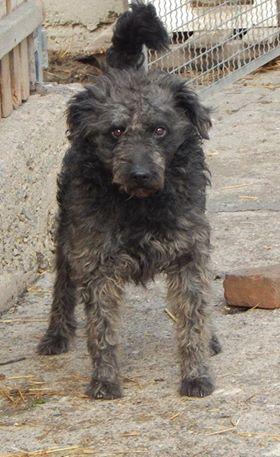 CUPKO croisé chien d'eau - SERBIE 48275510