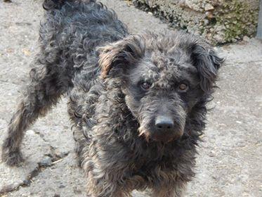 CUPKO croisé chien d'eau - SERBIE 48396710