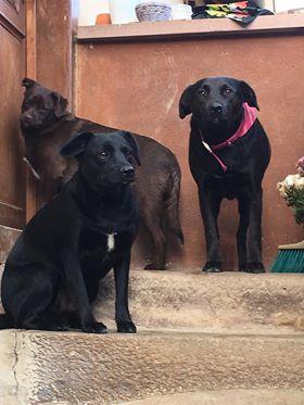 JONNY magnifique croisé labrador noir - en FA dpt 67  48429910