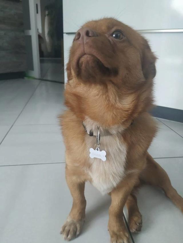 CARLI adorable petit chien - BULGARIE 49106210