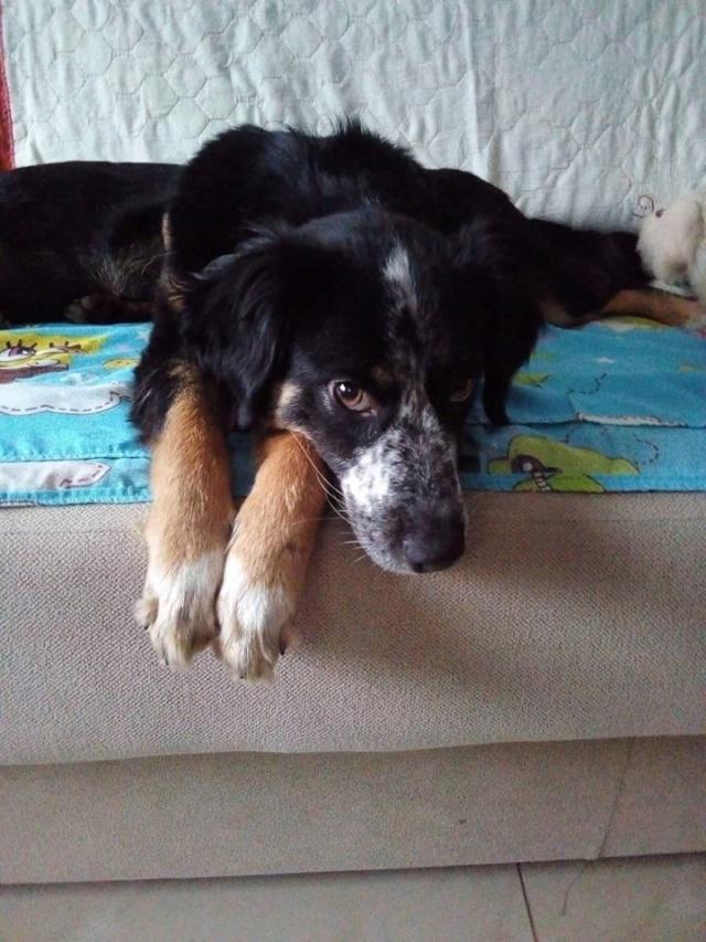 MIA sublime chienne tricolore - SERBIE 49193110