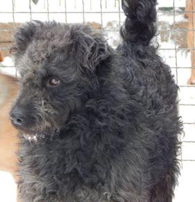 CUPKO croisé chien d'eau - SERBIE 49345910