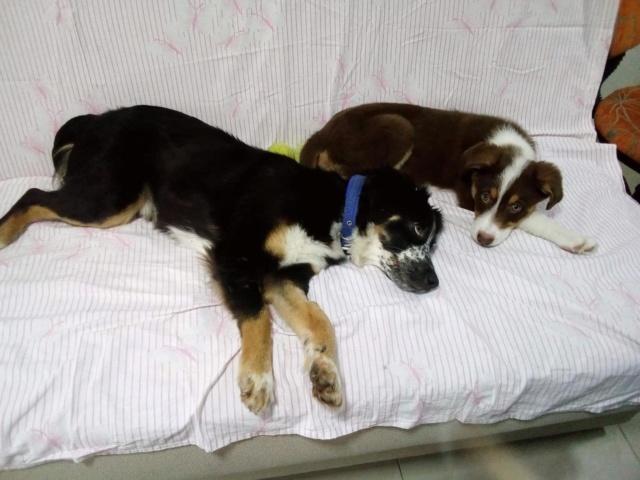 MIA sublime chienne tricolore - SERBIE 49347910