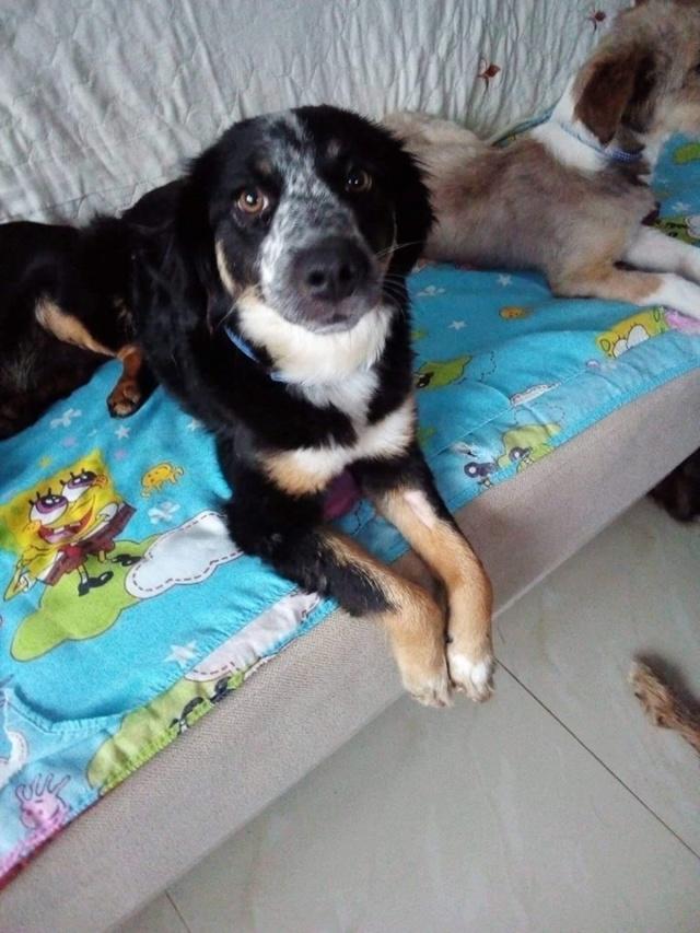 MIA sublime chienne tricolore - SERBIE 49461710
