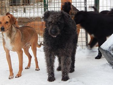 CUPKO croisé chien d'eau - SERBIE 49515810