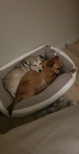 RASTY joyeux petit chien roux en FA dans le dpt 67 - SERBIE 49530510