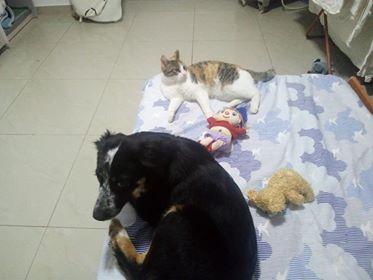 MIA sublime chienne tricolore - SERBIE 49535910