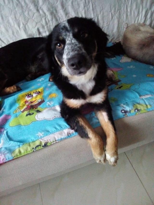 MIA sublime chienne tricolore - SERBIE 49539510