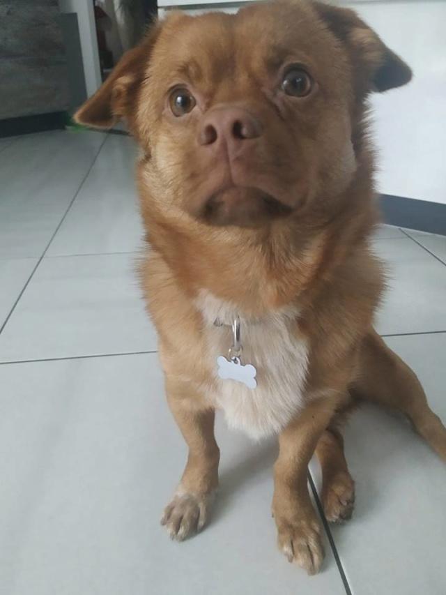 CARLI adorable petit chien - BULGARIE 49561010