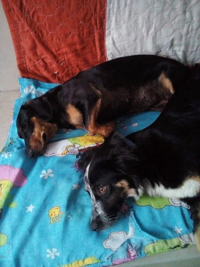 MIA sublime chienne tricolore - SERBIE 49589610