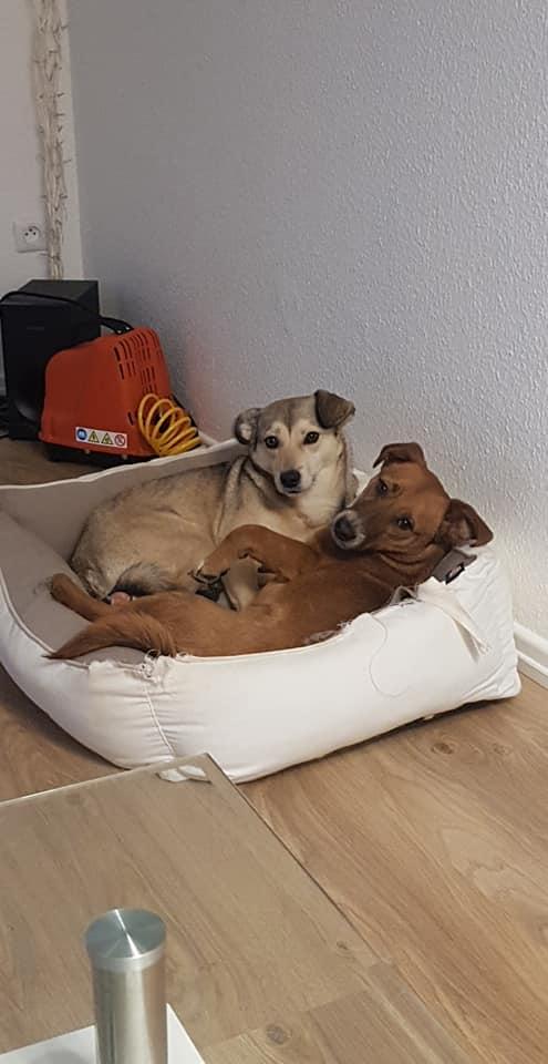 RASTY joyeux petit chien roux en FA dans le dpt 67 - SERBIE 49617410