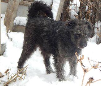 CUPKO croisé chien d'eau - SERBIE 49664310