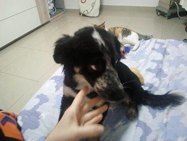 MIA sublime chienne tricolore - SERBIE 49694510