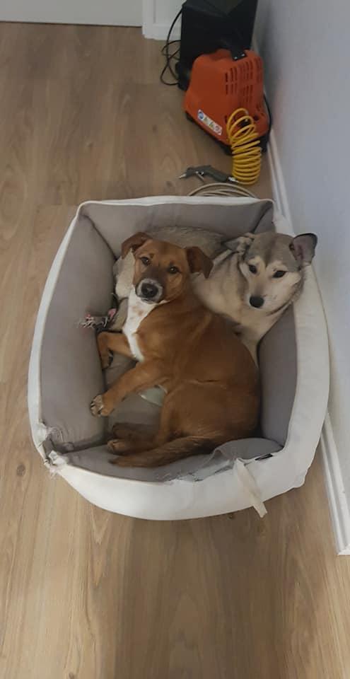 RASTY joyeux petit chien roux en FA dans le dpt 67 - SERBIE 49706010