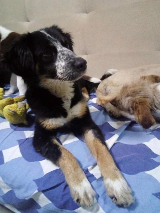 MIA sublime chienne tricolore - SERBIE 49719510