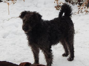 CUPKO croisé chien d'eau - SERBIE 49938910