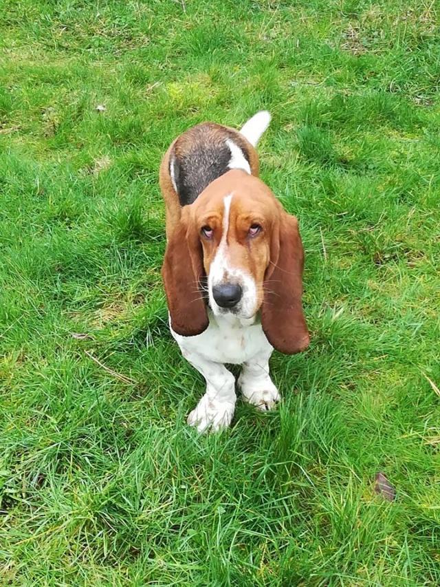 DORA basset hound - SERBIE 50210510