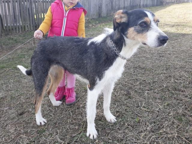 DUNJA une jolie chienne tricolore - SERBIE 51126510