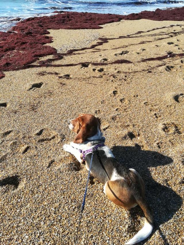 DORA basset hound - SERBIE 51199710