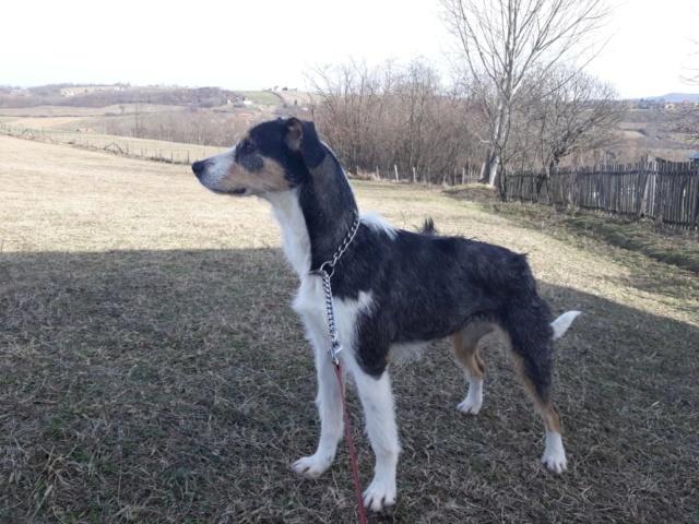 DUNJA une jolie chienne tricolore - SERBIE 51348010