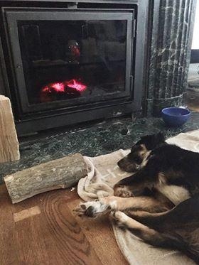 MIA sublime chienne tricolore - SERBIE 52451410