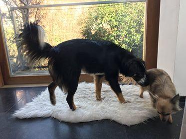 MIA sublime chienne tricolore - SERBIE 52695010