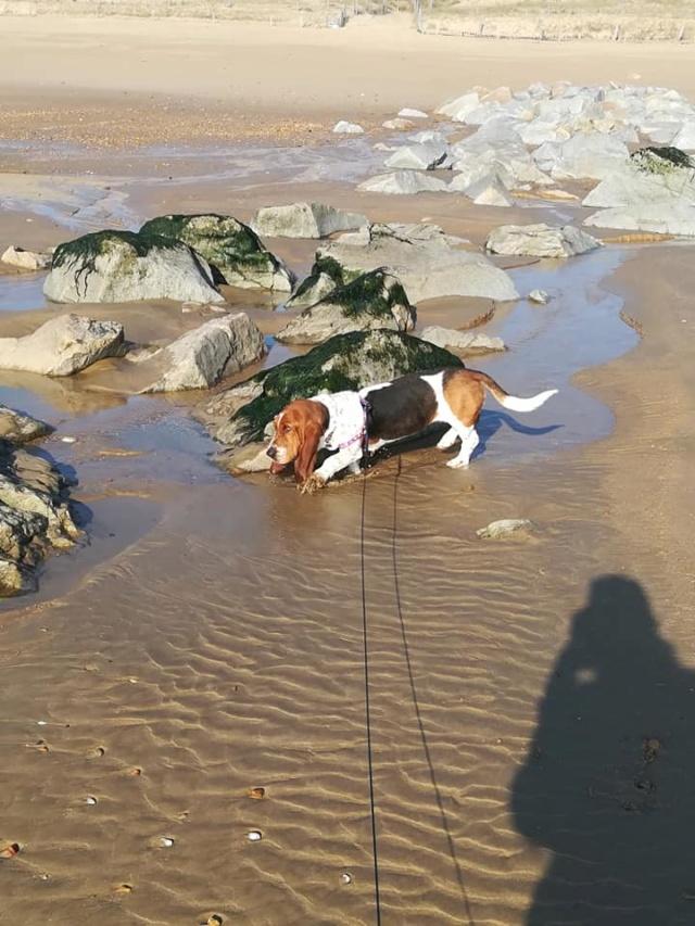DORA basset hound - SERBIE 53013910