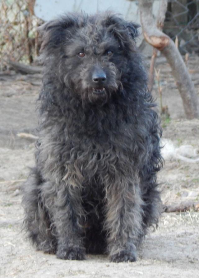 CUPKO croisé chien d'eau - SERBIE 53617010